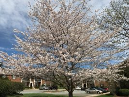 Spring blooms at Fountain Manor